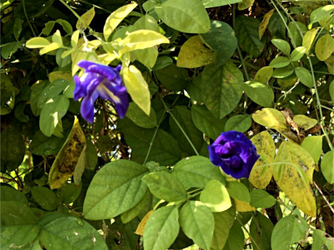 Double Petal Blue Pea Vine